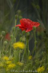 Ravishing poppy (PvRFotografie) Tags: flowers red flower holland nature vintage rotterdam minolta nederland natuur 500mm rood bloemen bloem rotterdamzuid vintagelens rotterdamcharlois sonyslta99 minoltaaf500mmf80reflex