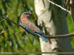 Indian Roller (Coracias benghalensis) (gilgit2) Tags: pakistan birds fauna canon geotagged wings wildlife feathers tags location species punjab tamron category avifauna coraciasbenghalensis headmarala imranshah indianrollercoraciasbenghalensis canoneos7dmarkii tamronsp150600mmf563divcusd gilgit2