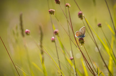 Against the wind (HungerforLight) Tags: italy nature butterfly insect wildlife lepidopteran