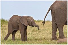 Elephants in the Maasai Mara in Kenia ........ (Martha de Jong-Lantink) Tags: elephant kenya safari elephants kenia olifant maasaimara olifanten 2011 janvermeer