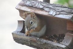 15/365/2937 (June 26, 2016) - Red Squirrel at the Birdfeeders (Saline, Michigan) - June 26, 2016 (cseeman) Tags: squirrel michigan birdfeeder feeder perch hungry saline redsquirrel squirrelfeeder project365 2016project365coreys 356project2016 p365cs062016 yearnineproject365coreys redsquirrel06262016