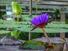 Longwood Gardens -21 (Webtraverser) Tags: gardens waterlily waterlilies longwoodgardens magichour sunsetting
