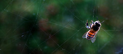 Bee caught in a Cobweb (Ajeet Panesar) Tags: light green insect bee cobweb