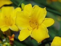 Yellow Flower (Imagination04) Tags: plant flower nature yellow ed illinois pentax il f45 300mm f if smc arrowhead smcpentaxf300mmf45edif
