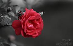 Rose (Michael Saby) Tags: red white lake canada black flower love nature beautiful field rose canon outdoors flora dof petal explore alberta 70200 depth sylvan 70d