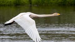 Singschwan (Whooper-Swan) (oliver_hb) Tags: island iceland schwan vogel singschwan