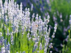 20160618-P6180207 (Gswpete) Tags: lavender bee flower nature purple
