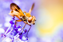 Little fly ? (Adrien-C) Tags: orange macro insect fly eyes purple bokeh small insects petit macrophotography macrophotographie