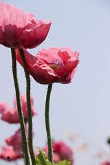 rosa Mohnblumen (isabelle.kerstof) Tags: pink summer flower sommer rosa blume mohnblume