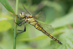 @ rest after the rain (jacobsfrank) Tags: green nature yellow insect leaf flickr belgium belgie dragonfly natuur blad geel libel goen frankjacobs nikond500 jacobstrank
