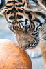 Indah ♀ - The Birthday Girl (Belteshazzar (AKA Harimau Kayu)) Tags: portrait toronto animal cat wonderful asian zoo tokyo spain mr ueno kali tiger beast indah tijger carnivorous tigris tigre bigcats sumatran fuengirola hypnotic the spaniard 虎 canadianbeauty predetor uenozoologicalgardens flesheating зоопарк sumatratiger tygr tiikeri тигр pantheratigrissumatrae sumatraansetijger rengat asiancat brytne tigredesumatra 苏门答腊虎 sumatrantiikeri harimausumatera sumatrakaplanı tygrsumaterský tygryssumatrzański суматранскийтигр szumátraitigris 수마트라호랑이 เสือโคร่งสุมาตรา सुमात्रनवाघ სუმატრისვეფხვი טיגריססומטרה ببرسوماترایی hổsumatra уэно