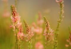 Blushing Maiden (ursulamller900) Tags: doubleexposure esparsette pentacon28100 pink bokeh