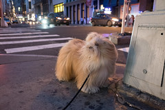 soho, manhattan (Charley Lhasa) Tags: street nyc newyorkcity dog ny newyork night evening raw pattern walk manhattan soho noflash sidewalk fujifilm cropped charley x70 lightroom lhasaapso 3stars aperturepriority 185mm adobelightroom 0ev charleylhasa iso5000 dsf2006 secatf28 unflagged fujifilmx70 uploaded160629111828 adobelightroomcc20156 lightroomcc20156 taken160625205725 tumblr160629 httpstmblrcozpjiby28chw9v