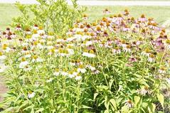 11875114_10153099681462076_1351256528356380660_o (jmac33208) Tags: park new york roses rose garden central schenectady