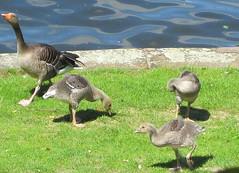 Die Vogelfamilie (Dieter14 u.Anjalie157) Tags: wasser frankfurt wiese nachwuchs ftterung ammain graugnse
