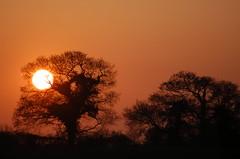 The ivy and the oaks at sunset (Kirkleyjohn) Tags: sunset sun silhouette atardecer treesilhouette countryside suffolk oak sonnenuntergang ivy pôrdosol oaktree coucherdusoleil treessilhouettes