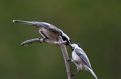 Always and forever... (dbifulco) Tags: feeding mates blackcappedchickadee courtship pairbonding
