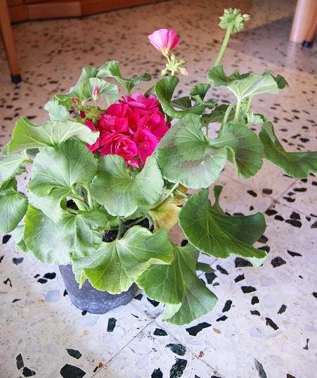 Geranio (jcaelles2011) Tags: Planta Flor Geranium Geraneo Anuales Perennes  Bienales
