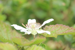 IMG_1849 (armadil) Tags: flowers blackberries ggnra moripoint moript