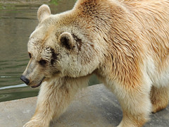 Brown Bear (MarkusR.) Tags: bear animal germany zoo stuttgart predator botanicalgarden tier br braunbr brownbear wilhelma ursusarctos badenwrttemberg badenwuerttemberg zoologicalgarden 2013 raubtier markusrieder mrieder 20130502np5020