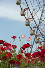 Poppy and Ferris wheel (houroumono) Tags: papaver  shirleypoppy