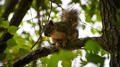 Ecureuil (Julien_V) Tags: california usa animal wildlife squirel californie ecureuil