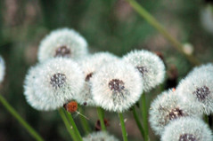 dandelions low light may 2013 (houstonryan) Tags: print photography utah photographer ryan may houston images blow photograph license ready sell 19 dandelions freelance 2013 houstonryan