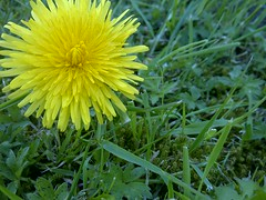 Dandelion (BekahGreenwoodPhotography) Tags: summer flower green nature grass yellow garden spring bright dandelion clear noedit bgreenwoodphotography