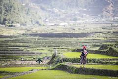Sapa (Em De Thuong (a.k.a Mai Tram)) Tags: red mountain field asian countryside asia vietnamese peace village rice north poor harvest peaceful vietnam farmer northern ethnic minority sapa dzao laocai hardworking taphin