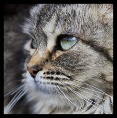 Rgida. (Marina Gmez Esteban.) Tags: look cat chat belle