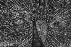 20130612-PPS0156-13BnW (Laurie2123) Tags: peacock carlsbad pps leocarrilloranch nikkor80400mm peacockdisplaying nikond800 blackandwhitepeacock pacificphotographicsociety laurie2123 laurieturnerphotography