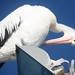 pelicans,june 14-2013 (6)