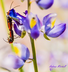 Amorous acrobatics (Andrew Mitchell_Unseen Universe) Tags: macro soldier photography mitch beetle andrew mitchell universe unseen macrophotography soldierbeetle cantharidae spathulata silis andrewmitchell unseenuniverse silisspathulata
