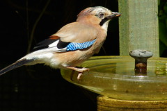 The Jay - Take 3 (peterdouglas1) Tags: jay gardenbirds