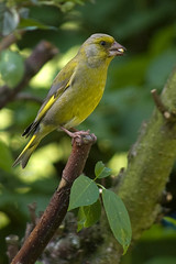 Greenfinch 8.jpg (Bassman99) Tags: blackisle gardenbirds scottishwildlife