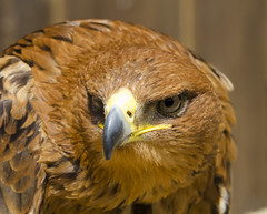 Tawny Eagle (malkv) Tags: bird nature canon eagle wildlife prey tawny 600d
