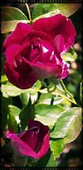 The Ice-burg (MissyPenny) Tags: pink flowers rose garden burgundy shrub rosebush iceburgrose bristolpennsylvania kodakz990 pdlaich missypenny