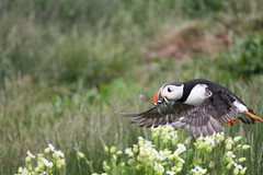 IMG_4657 (Hannah_Kirkland) Tags: bird nature islands wildlife national trust puffin farne