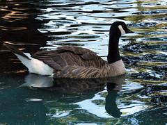 Canada Goose (Red Calf Studio) Tags: birds montana greatfalls canadageese nonhumananimals duckponds redcalfstudio colleenwatsonturner