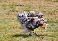 Eurasian Eagle Owl (Michelle O'Connell Photography) Tags: bird zoo scotland amber owl carnivore eurasianeagleowl edinburghzoo eagleowl michelleoconnellphotography