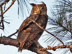 Great Horned Owl, Long Pine Key (Florida), 18-Apr-13 (Dave Appleton) Tags: bird birds florida great owl everglades greathornedowl bubo horned bubovirginianus virginianus longpinekey