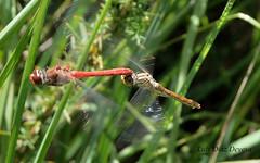 (Luis Diaz Devesa) Tags: espaa insect spain europa dragonfly galicia galiza liblula pontevedra insecto illadearousa isladearosa luisdiazdevesa