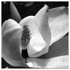 iPhone - Magnolia Bloom Detail (ESHELMS) Tags: bw sc lexington bloom magnolia uploaded:by=flickrmobile flickriosapp:filter=panda pandafilter