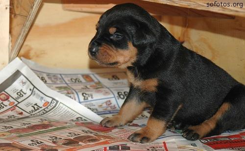 Filhotes de cachorros 26