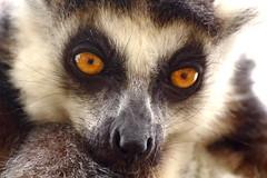 Orange Eyes (Fraser Murdoch) Tags: park uk wild orange animals by kids children rebel scotland eyes warm day cloudy near stirling sunny ring adventure safari busy lemur stare blairdrummond tailed ringtailed