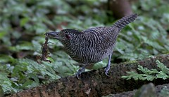 Panama: Fasciated Antshrike (spiderhunters) Tags: bird rainforest scorpion panama antbird fasciatedantshrike cymbilaimuslineatus neotropics