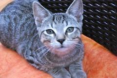 IMGP82888 (frankbehrens) Tags: cats tom chats kitten chat gatos gato katze katzen kater