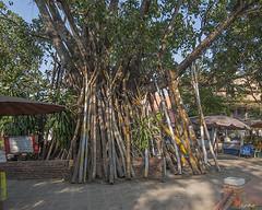 Wat Chang Kam Great Bodhi Tree Support (DTHCM0427) วัดช้างค้ำ ไม้ค้ำยันกับ พระศรีมหาโพธิ์
