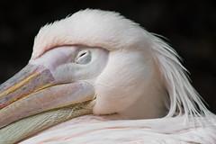 Snooze (michael_hamburg69) Tags: germany deutschland zoo pelican hannover pelikan niedersachsen lowersaxony zoohannover pelecanus pelecanidae