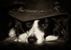 The Dog with No Name - well it's Jethro actually :) (asheers) Tags: dog monochrome hat sepia mono collie sheepdog western bordercollie silverefex